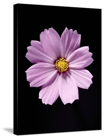 Close-up of a cosmos-Sung-Il Kim-Stretched Canvas Print