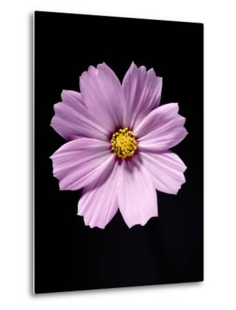 Close-up of a cosmos-Sung-Il Kim-Metal Print