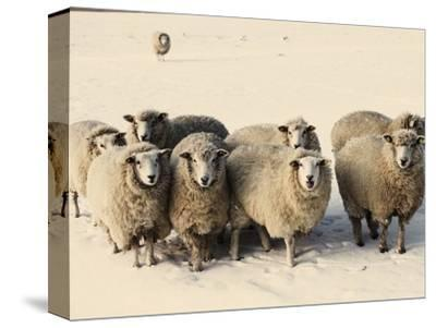 Sheep in winter-Edvard March-Stretched Canvas Print