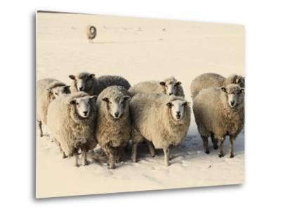 Sheep in winter-Edvard March-Metal Print