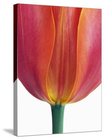 Tulip-Frank Krahmer-Stretched Canvas Print