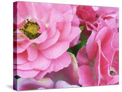 Pink roses-Frank Krahmer-Stretched Canvas Print