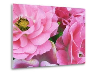 Pink roses-Frank Krahmer-Metal Print