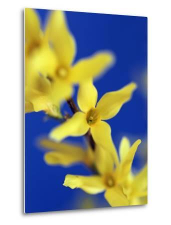 Forsythia flowers-Frank Krahmer-Metal Print