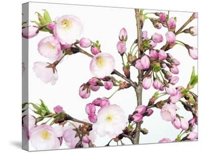 Cherry blossoms-Frank Krahmer-Stretched Canvas Print
