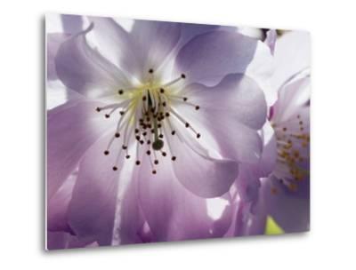 Cherry blossoms-Frank Krahmer-Metal Print