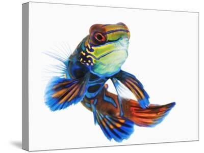 Mandarinfish-Martin Harvey-Stretched Canvas Print