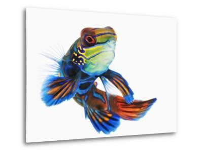 Mandarinfish-Martin Harvey-Metal Print