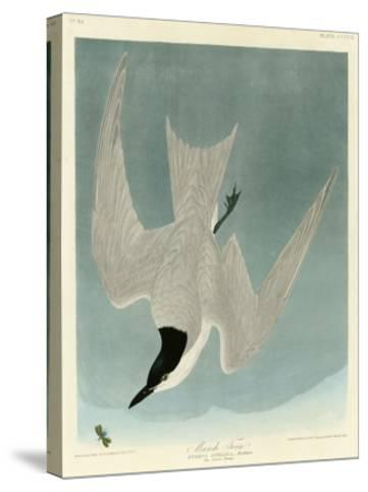 Marsh Tern-John James Audubon-Stretched Canvas Print