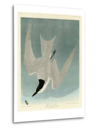 Marsh Tern-John James Audubon-Metal Print