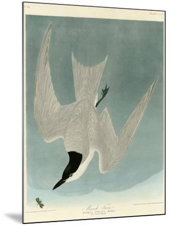 Marsh Tern-John James Audubon-Mounted Giclee Print