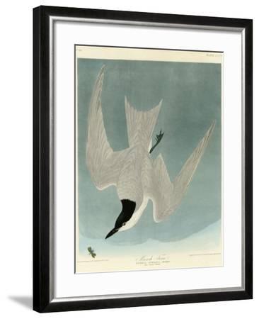Marsh Tern-John James Audubon-Framed Giclee Print