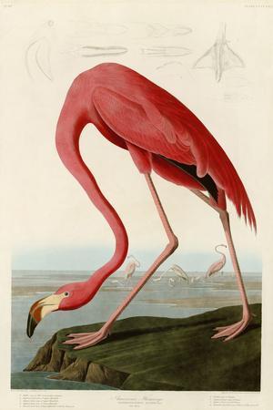 American Flamingo-John James Audubon-Stretched Canvas Print