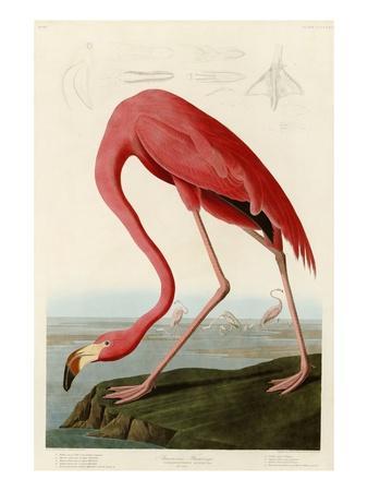 American Flamingo-John James Audubon-Premium Giclee Print