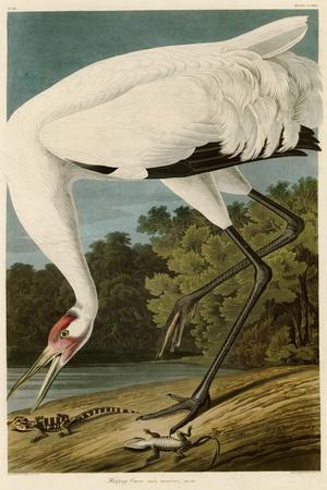 Hooping Crane-John James Audubon-Stretched Canvas Print