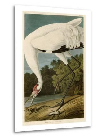 Hooping Crane-John James Audubon-Metal Print