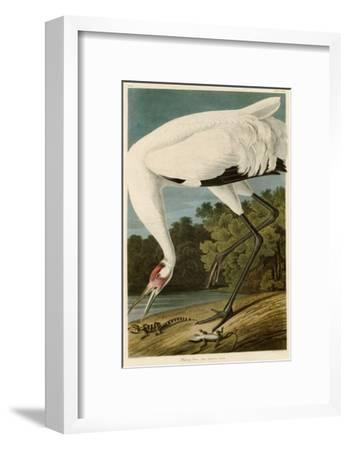 Hooping Crane-John James Audubon-Framed Giclee Print
