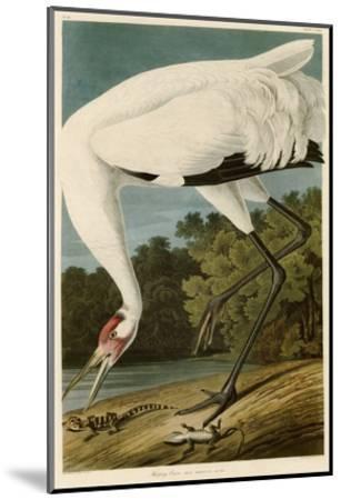Hooping Crane-John James Audubon-Mounted Giclee Print