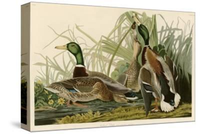 Mallard Duck-John James Audubon-Stretched Canvas Print