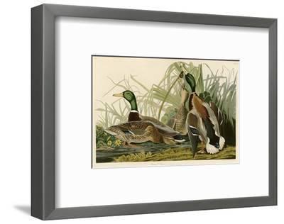 Mallard Duck-John James Audubon-Framed Premium Giclee Print