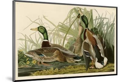 Mallard Duck-John James Audubon-Mounted Premium Giclee Print