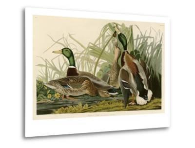 Mallard Duck-John James Audubon-Metal Print