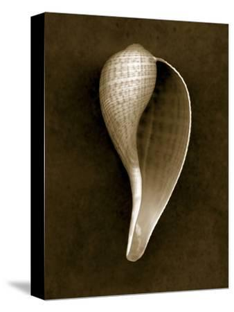 Graceful Fig Shell 2-John Kuss-Stretched Canvas Print