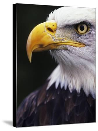 Bald Eagle (Haliaeetus leucocephalus)-Andrew McLachlan-Stretched Canvas Print