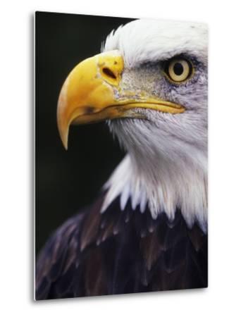 Bald Eagle (Haliaeetus leucocephalus)-Andrew McLachlan-Metal Print