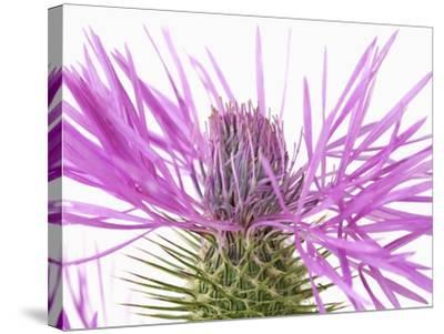Purple Galactites-Frank Krahmer-Stretched Canvas Print