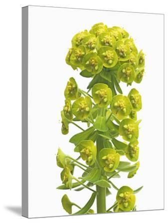 Euphorbia-Frank Krahmer-Stretched Canvas Print