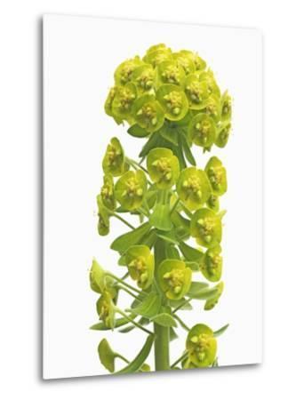 Euphorbia-Frank Krahmer-Metal Print