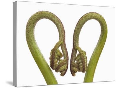 Fern sprouts-Frank Krahmer-Stretched Canvas Print
