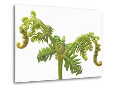 Fern sprouts-Frank Krahmer-Metal Print