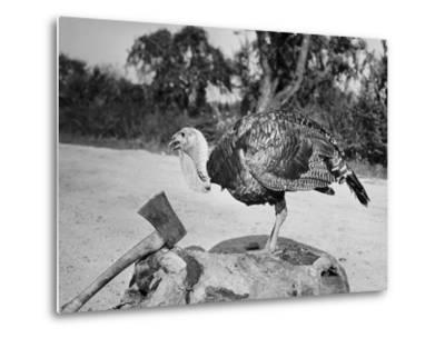 Side profile of a turkey and axe on a tree stump--Metal Print