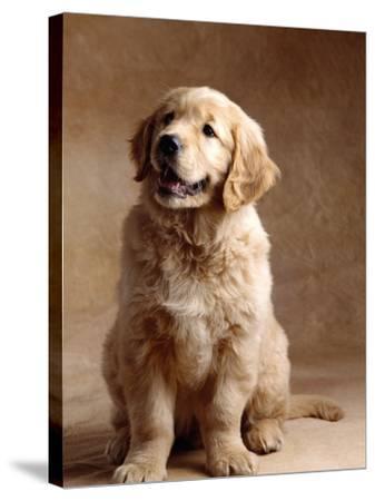 Golden Retriever Puppy-Don Mason-Stretched Canvas Print