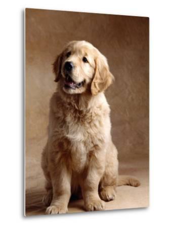 Golden Retriever Puppy-Don Mason-Metal Print