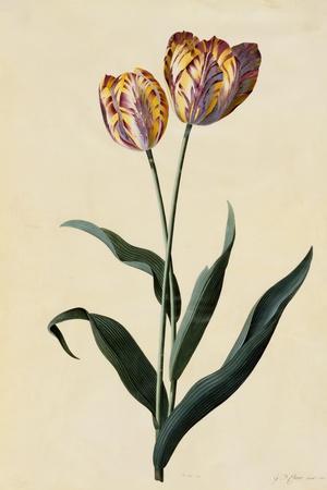 Botanical Print of Tulip-Johann Wilhelm Weinmann-Stretched Canvas Print