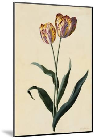 Botanical Print of Tulip-Johann Wilhelm Weinmann-Mounted Giclee Print