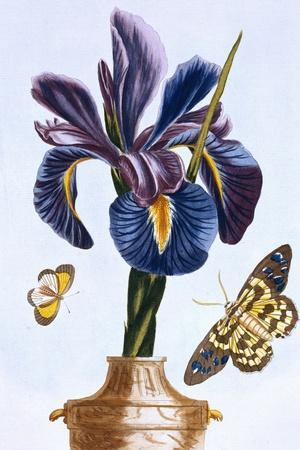 18th Century French Print of Common Iris With Butterflies-Stapleton Collection-Stretched Canvas Print