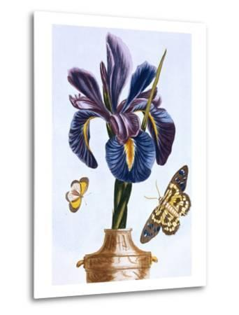 18th Century French Print of Common Iris With Butterflies-Stapleton Collection-Metal Print