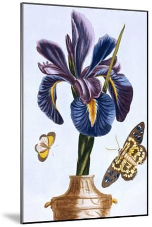18th Century French Print of Common Iris With Butterflies-Stapleton Collection-Mounted Giclee Print