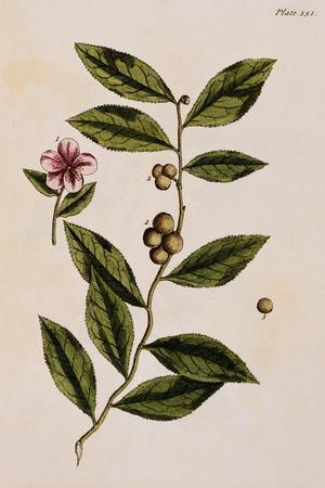 Green Tea-Elizabeth Blackwell-Stretched Canvas Print