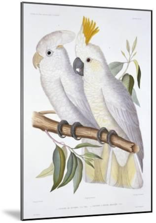 Print of Two Cockatoos by A. Dumenil-Stapleton Collection-Mounted Giclee Print