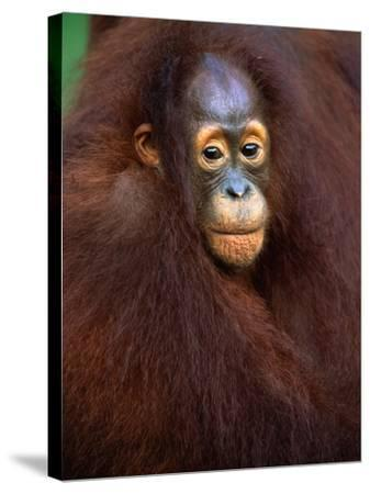 Young Orangutan in Mother's Arm-Theo Allofs-Stretched Canvas Print