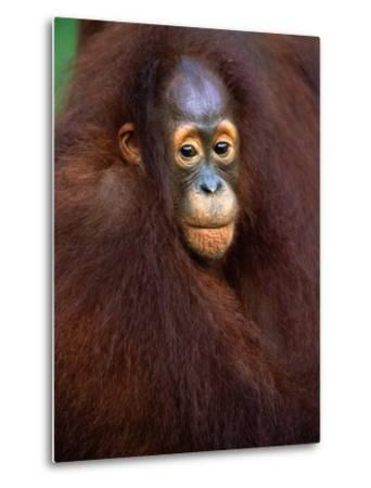 Young Orangutan in Mother's Arm-Theo Allofs-Metal Print