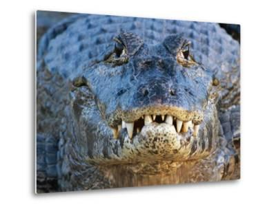 Adult Spectacled Caiman in Brazil-Theo Allofs-Metal Print
