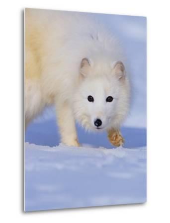 Arctic Fox Walking Across Snow-Theo Allofs-Metal Print