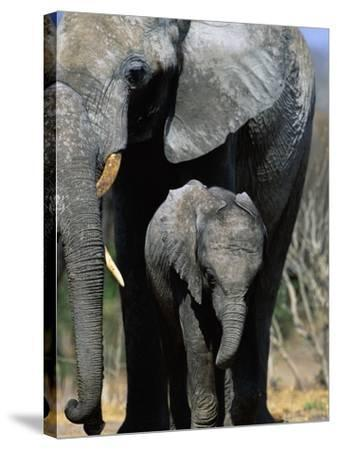 Elephant Mother and Calf-Theo Allofs-Stretched Canvas Print