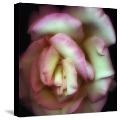 Love is a Rose-Nathan Griffith-Stretched Canvas Print